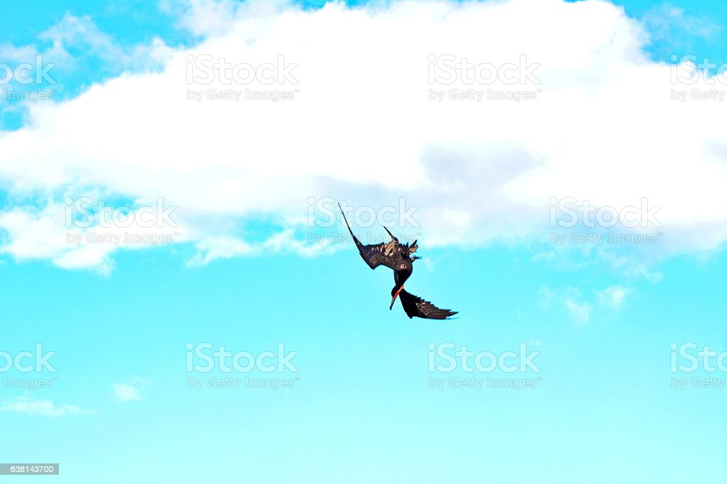 Beautiful flying of the marine crow stock photo