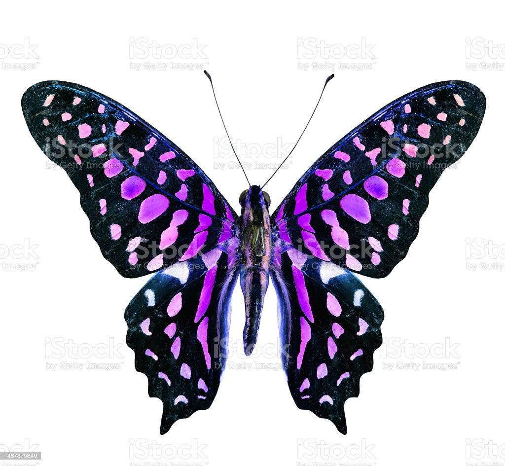 Beautiful flying purple and black butterfly isolated on white ba stock photo