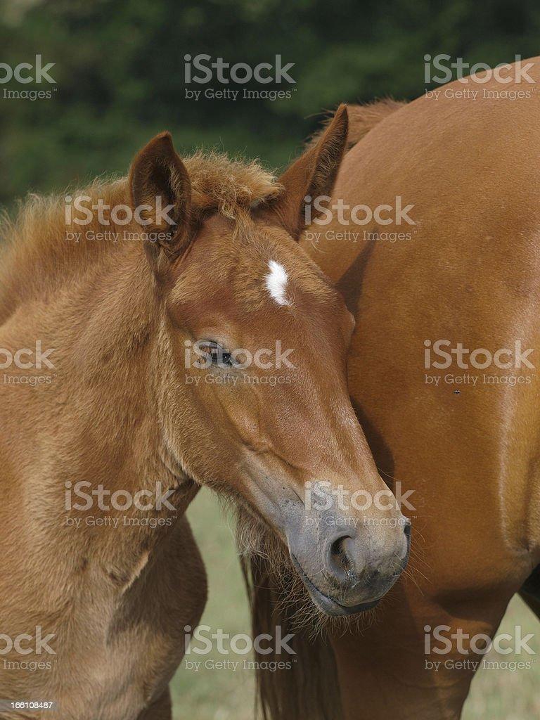 Beautiful Foal royalty-free stock photo