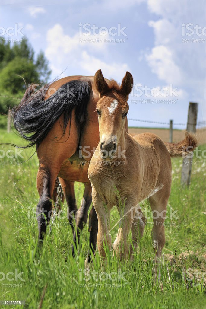 beautiful foal with female brown horse royalty-free stock photo