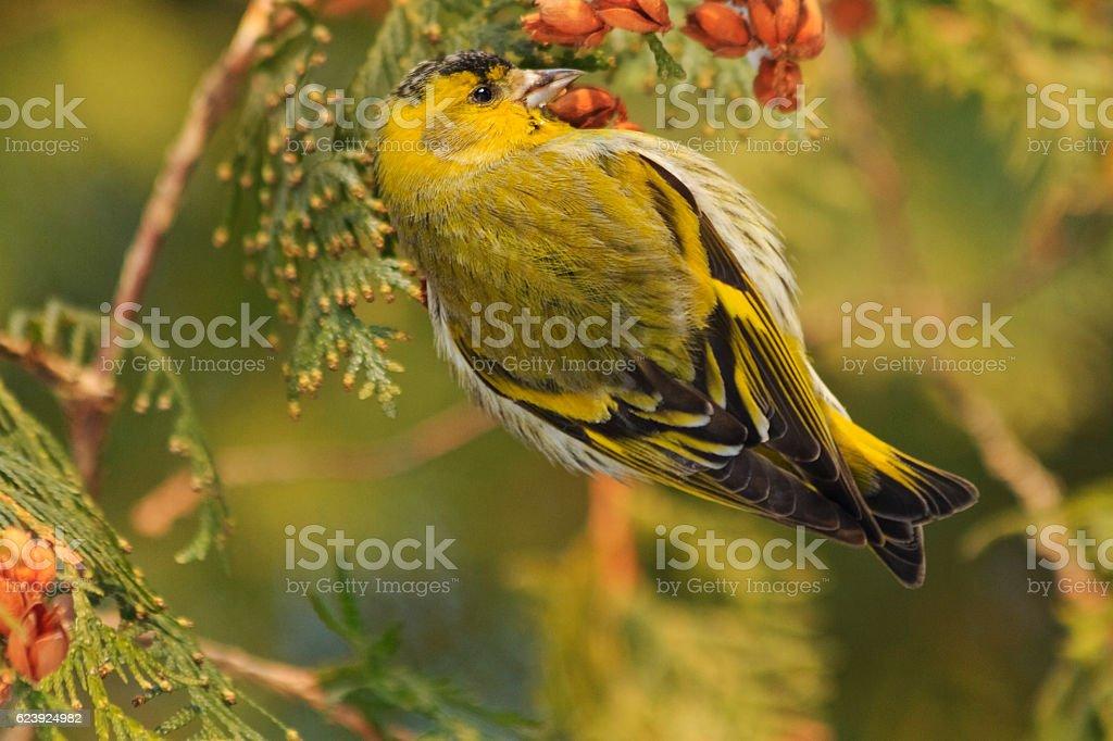 beautiful forest bird sits on a fir stock photo