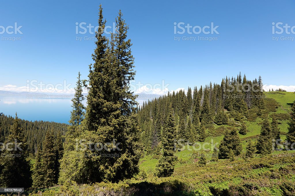 beautiful forest landscape in xinjiang,china stock photo