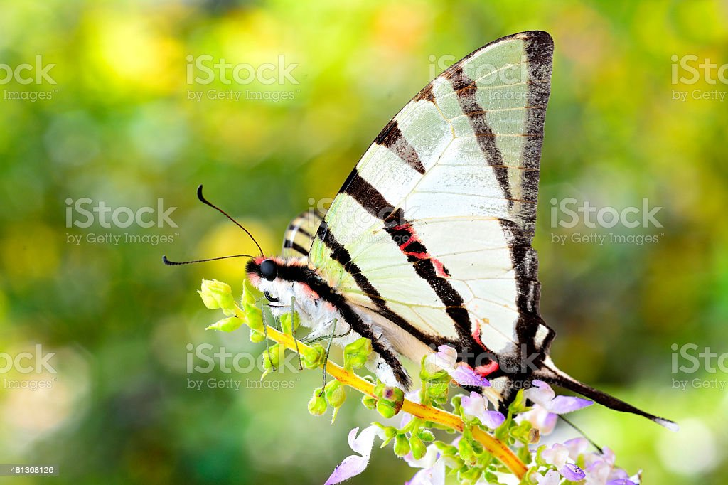 Beautiful Fourbar butterfly perching on flowers with nice blur b stock photo