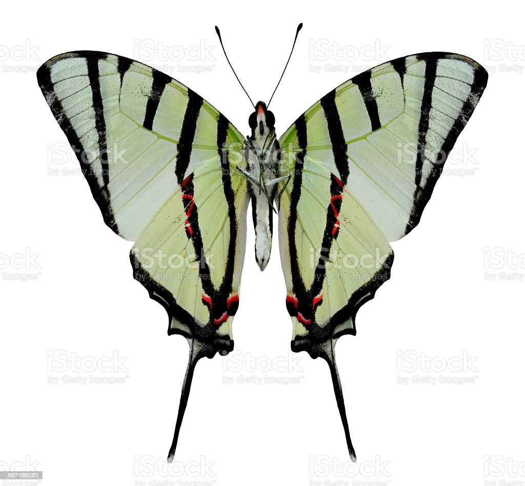 Beautiful Fourbar swordtail butterfly lower wing in natural prof stock photo