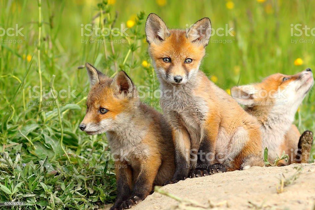 beautiful fox cubs stock photo