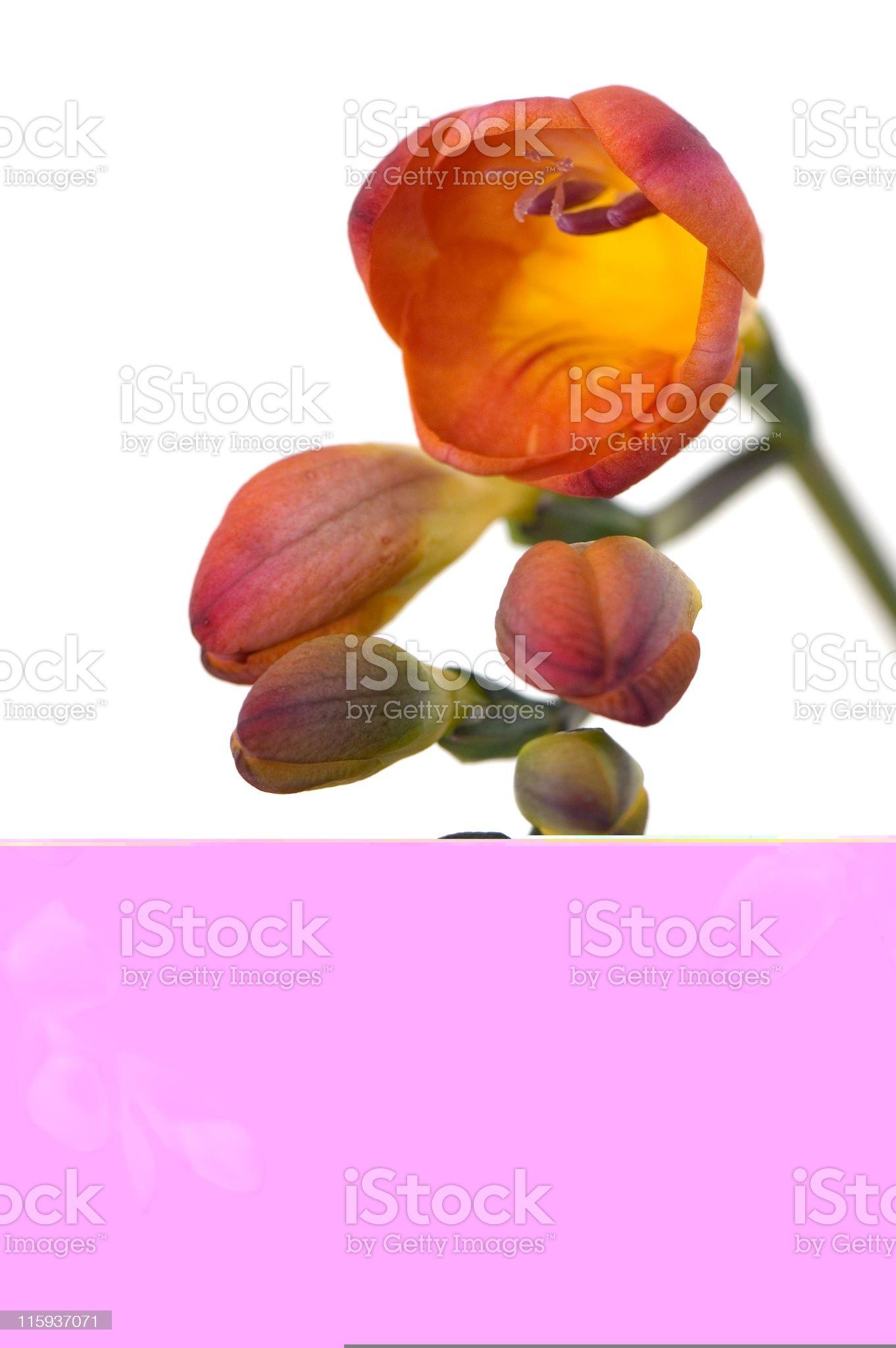 Beautiful Freesia royalty-free stock photo