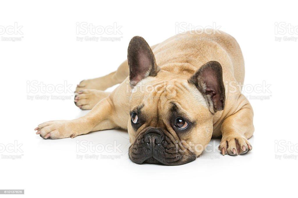 Beautiful french bulldog dog stock photo