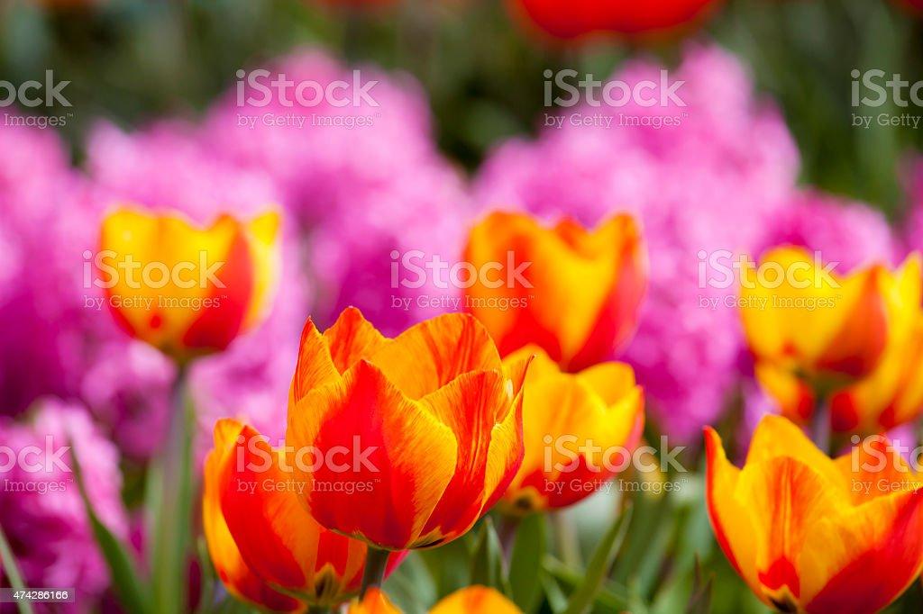 Beautiful fresh and vivid yellow an red tulips stock photo