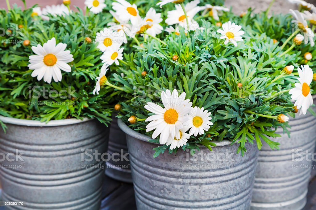 Beautiful fresh daisies in bucket for flower decoration stock photo
