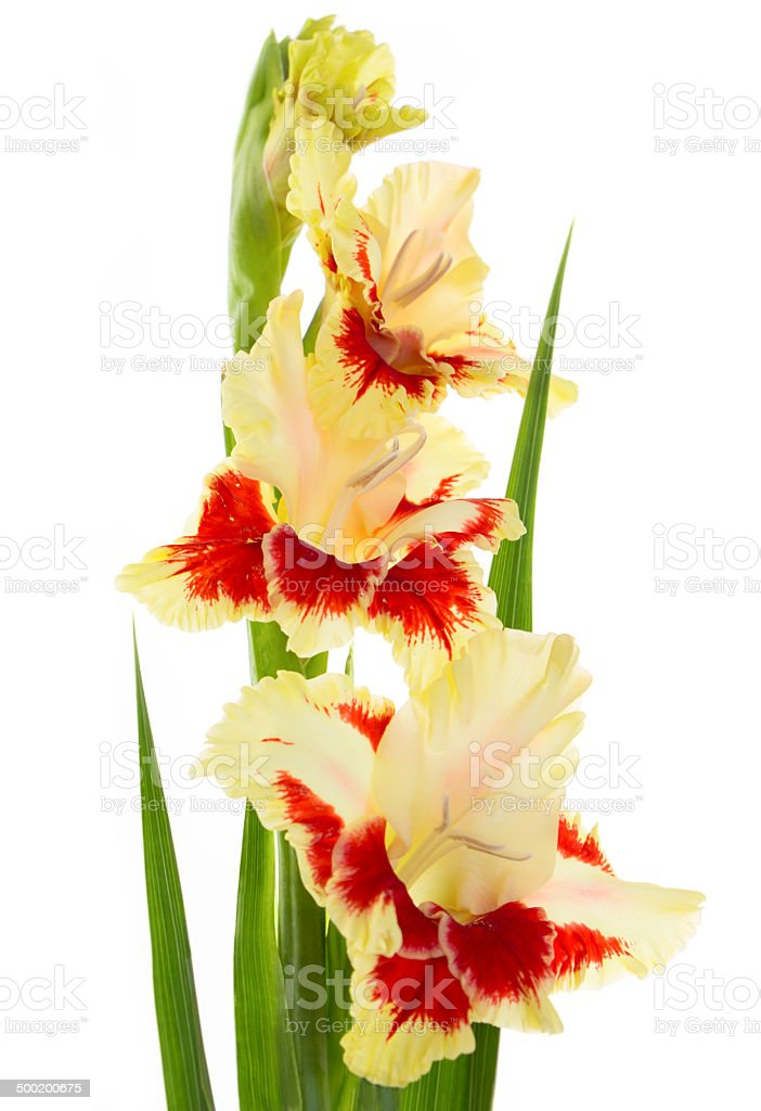 Beautiful fresh gladiolus isolated stock photo