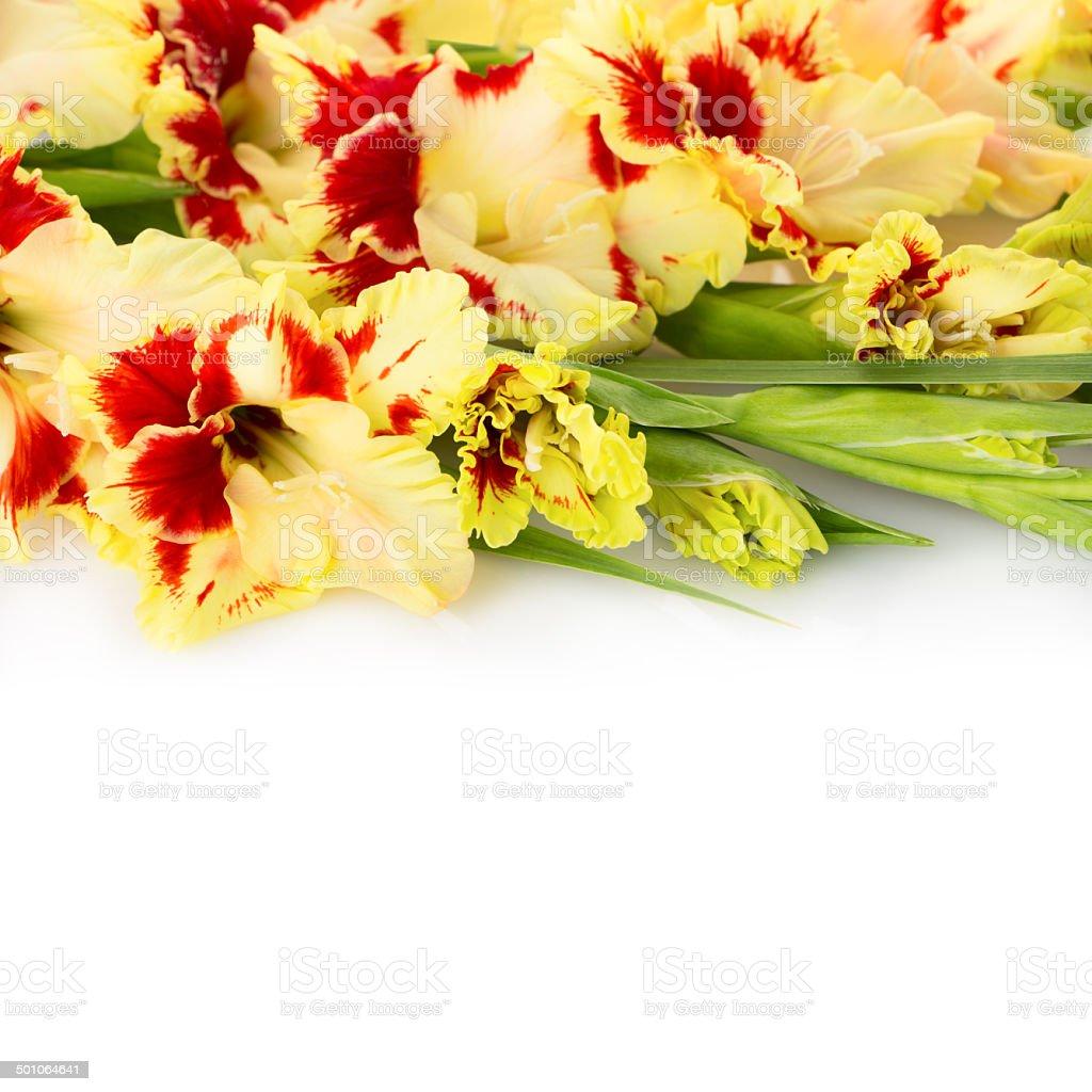 Beautiful fresh gladiolus isolated square background royalty-free stock photo