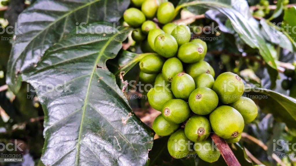 Beautiful fresh green coffee beans on tree branch stock photo