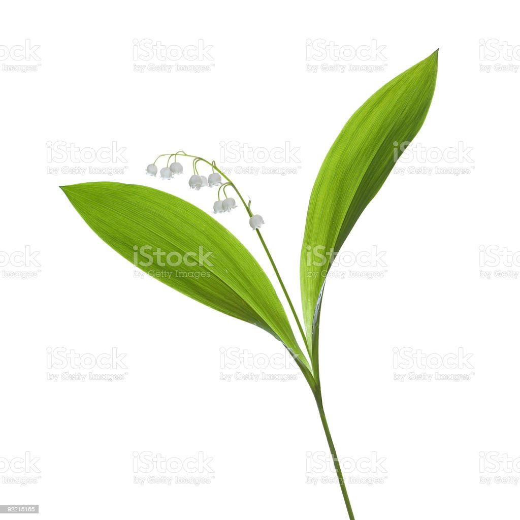 beautiful, fresh lilies of the valley. royalty-free stock photo
