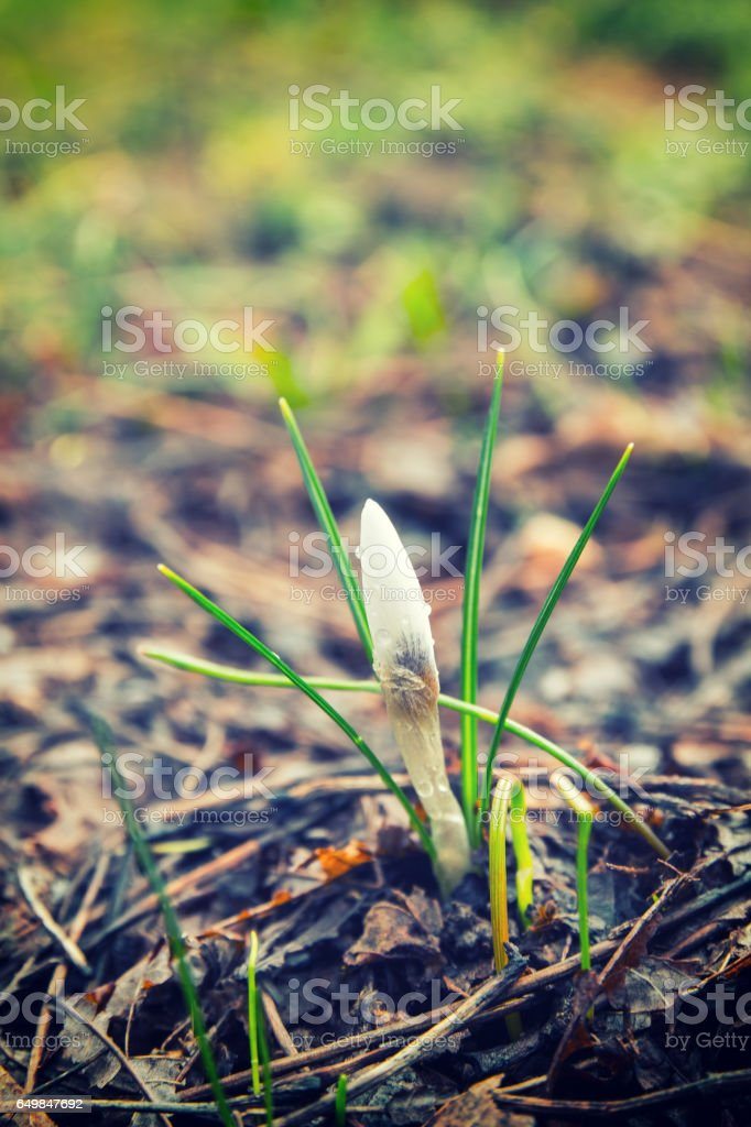 Beautiful fresh loneliness small white crocus flower in bud closed opening in spring season in march under sunlight with wet plant due to morning dew stock photo