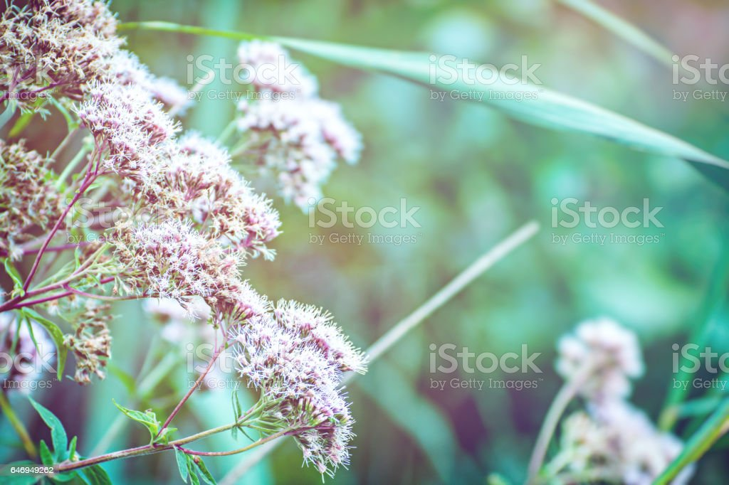 Beautiful fresh white color small wild flowers Cow Parsley type blossoming in spring season with copy space stock photo