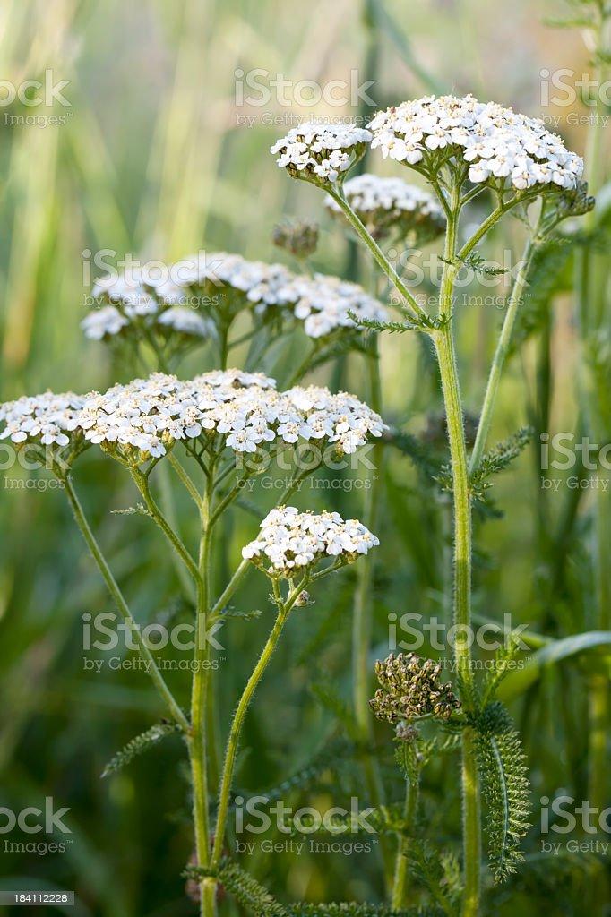 Beautiful fresh Yarrow Milfoil in the spring  stock photo