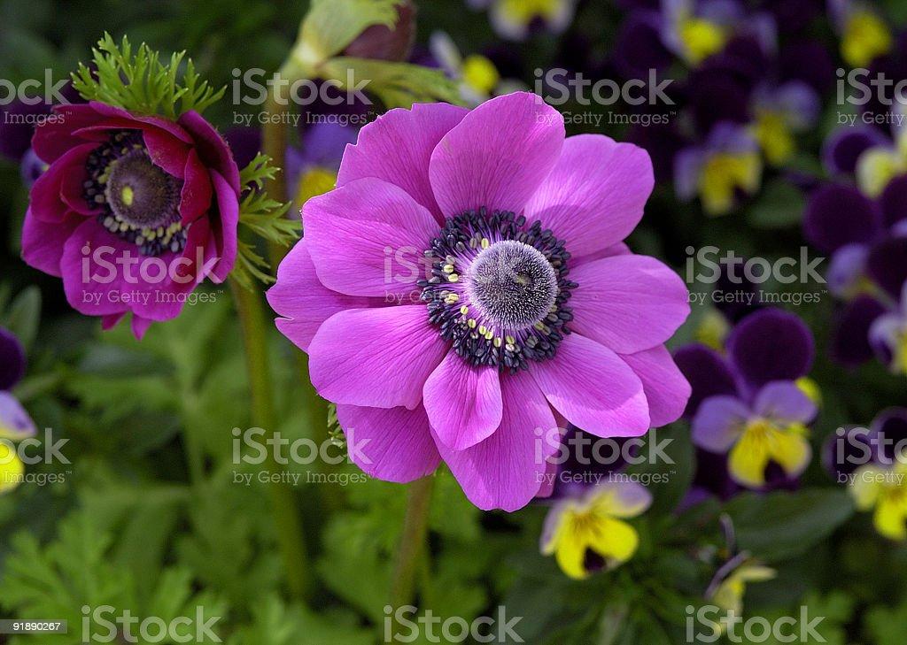 beautiful fuchsia flower royalty-free stock photo