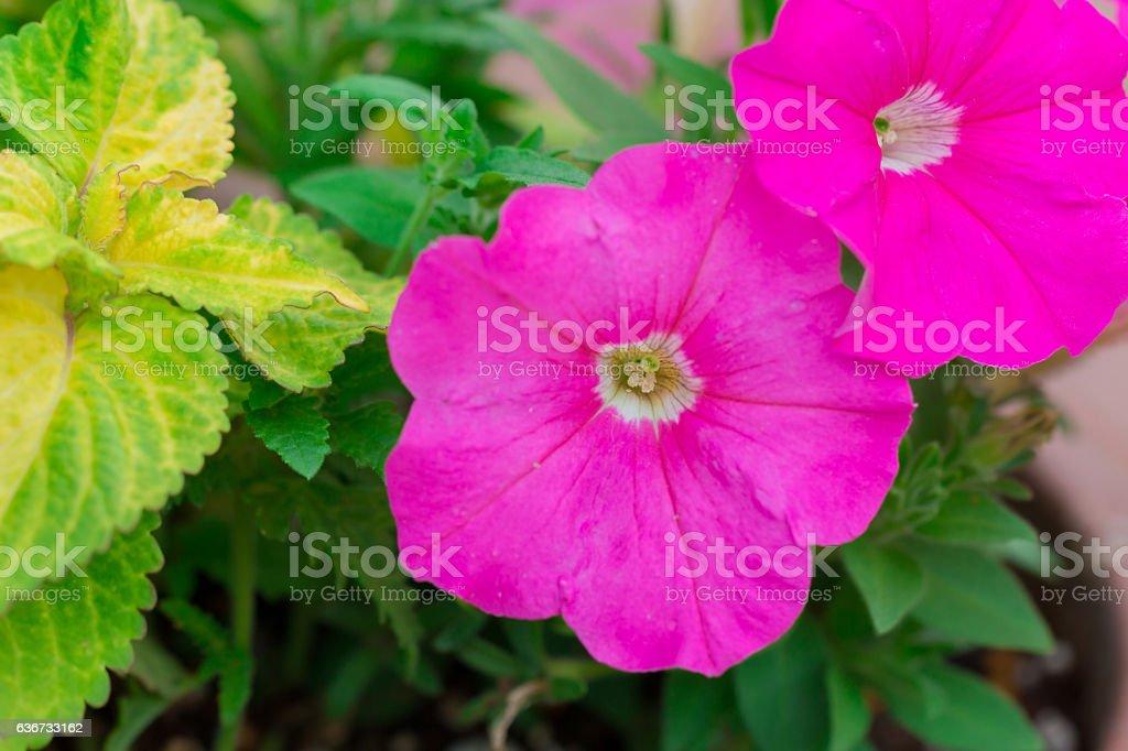 Beautiful fuchsia pink geranium in garden. stock photo