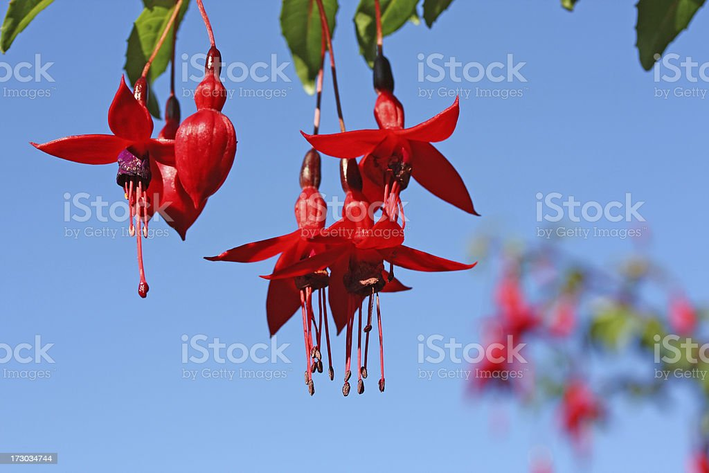 Beautiful Fuchsia red blossoms against blue sky royalty-free stock photo