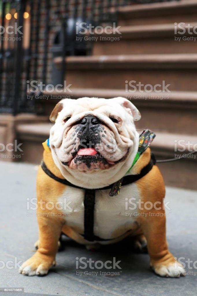 Beautiful funny dog English bulldog stock photo