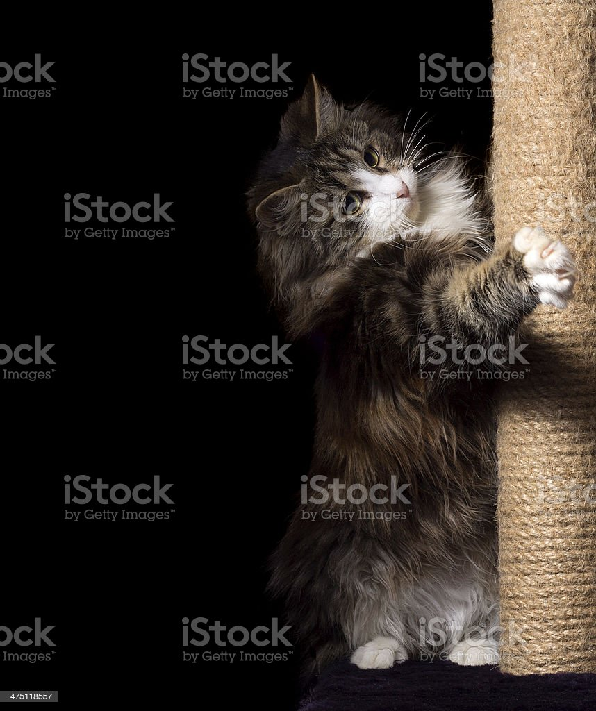 beautiful furry purebred kitten sit near scratching post stock photo