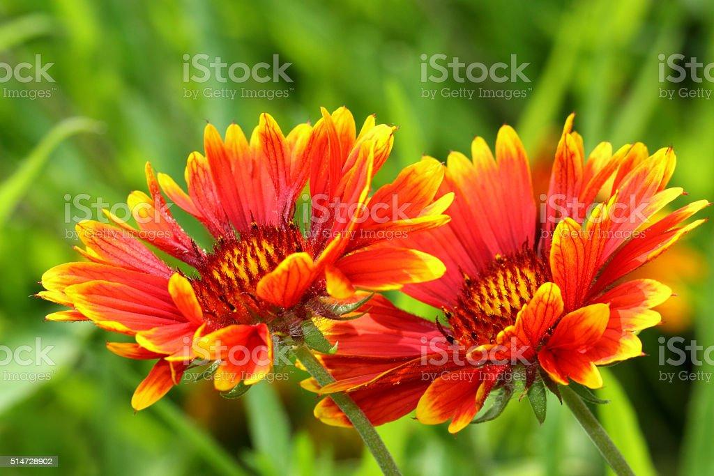 Beautiful Gaillardia flowers stock photo