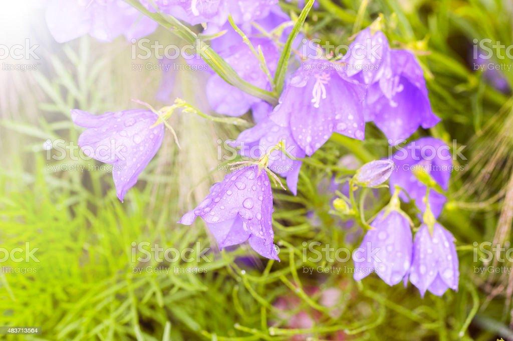 Beautiful garden flowers bells with drops stock photo