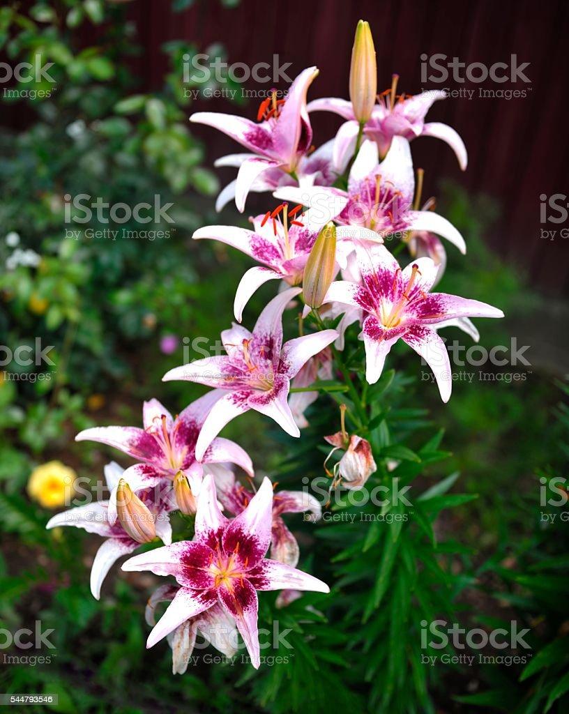 Beautiful Garden Lilies stock photo