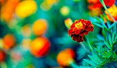 Beautiful garden marigolds blooming