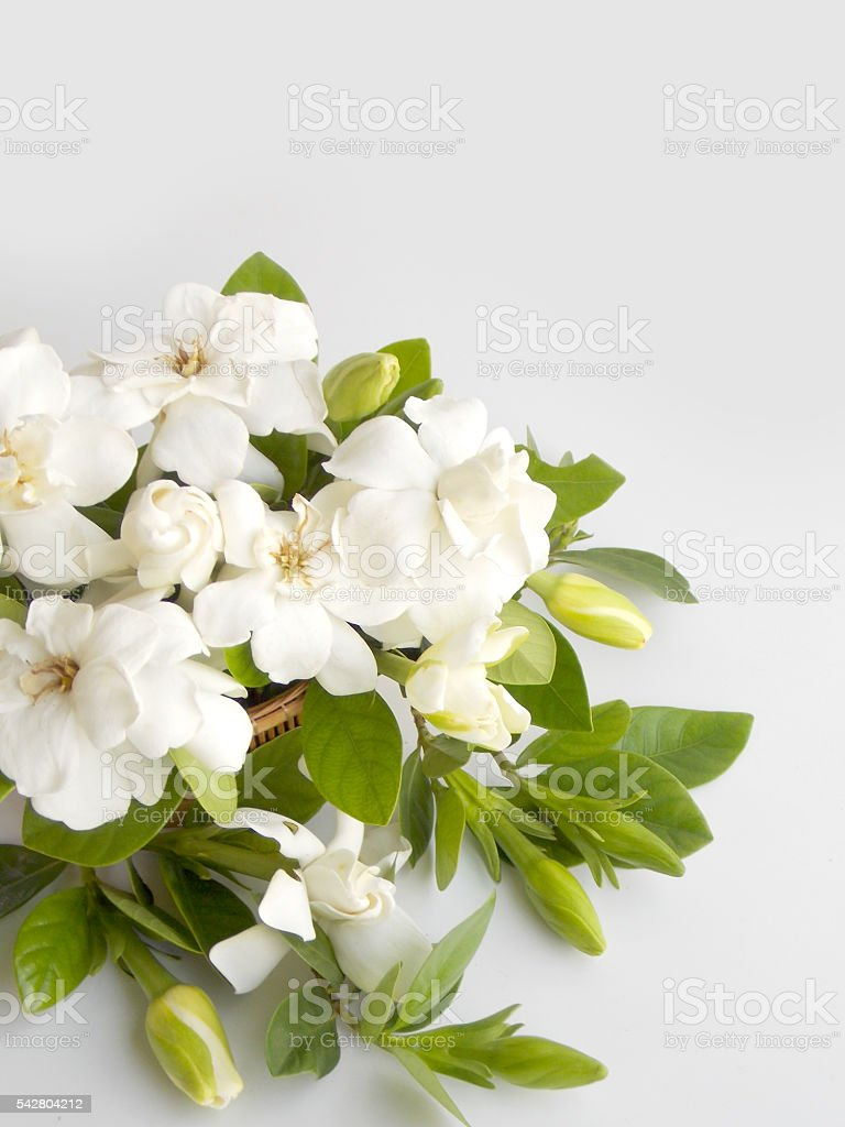 Beautiful gardenia flower stock photo
