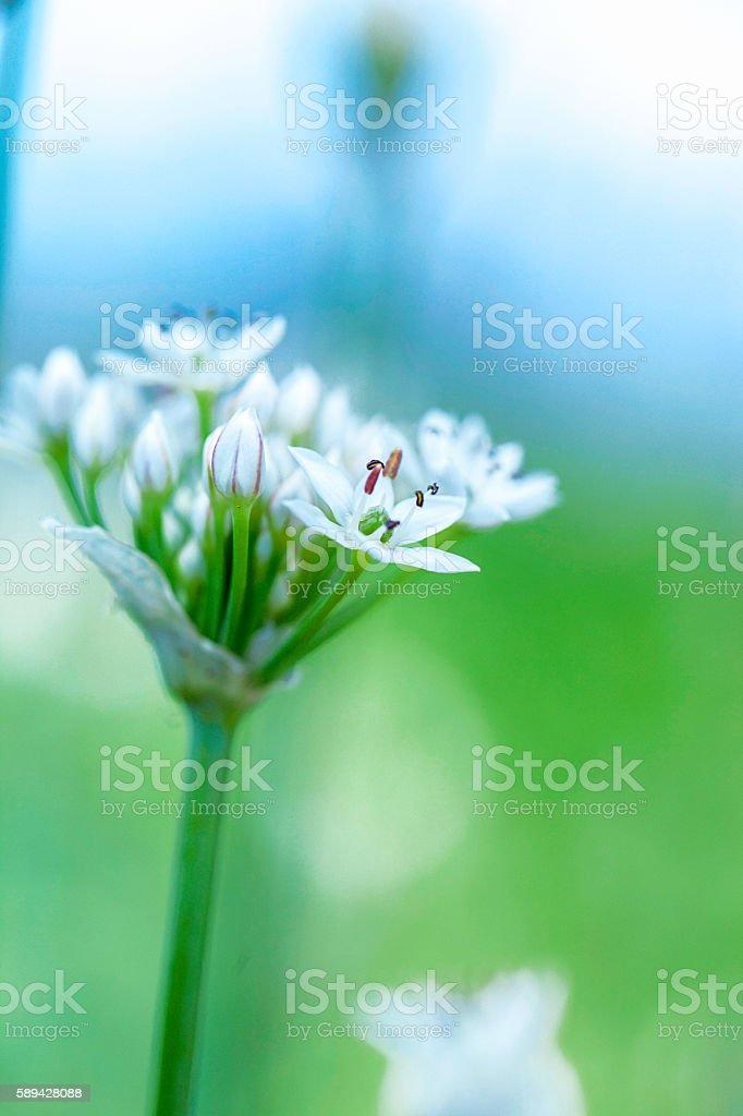Beautiful garlic chive plant, allium tuberosum, starting to bloom stock photo