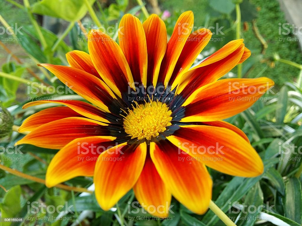 Beautiful Gazania Flower. stock photo