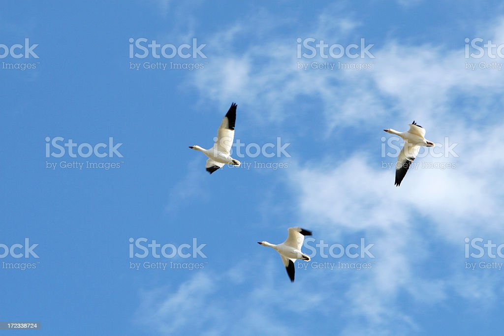 Beautiful geese! royalty-free stock photo