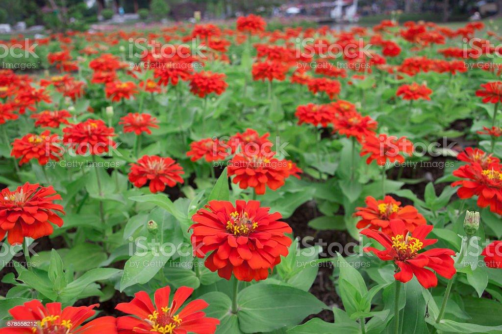 Beautiful gerbera flower in garden. stock photo