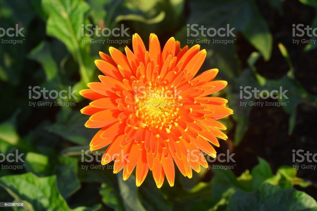 Beautiful gerbera flower in garden stock photo