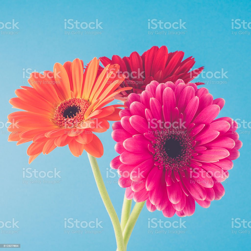 Beautiful gerbera flowers stock photo