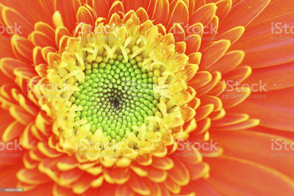Beautiful Gerbera isolated royalty-free stock photo