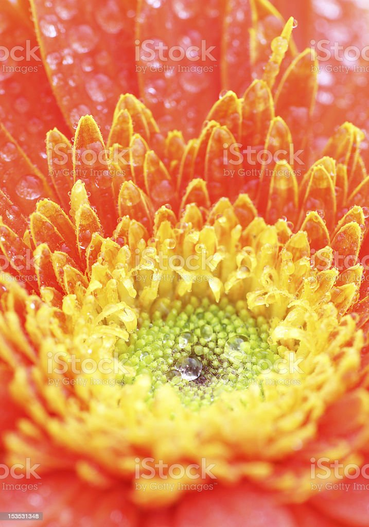 Beautiful Gerbera isolated royalty-free stock photo