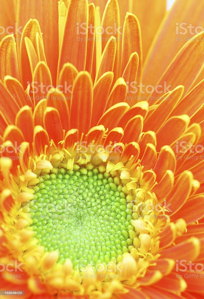 Beautiful Gerbera isolated. royalty-free stock photo