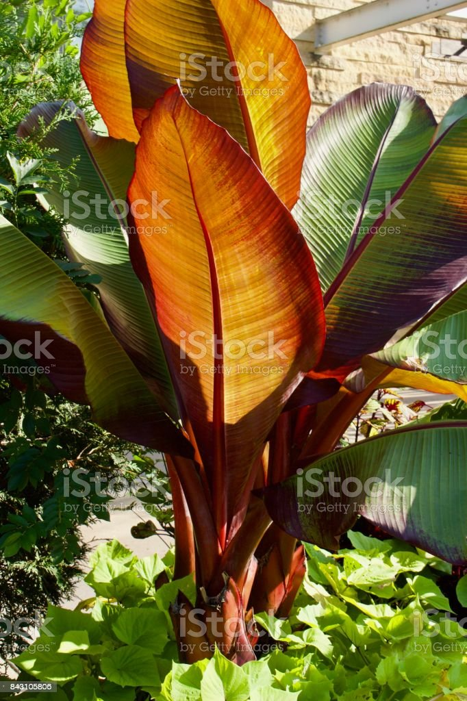 Beautiful Giant Canna Plant with Large Colorful Leaves stock photo