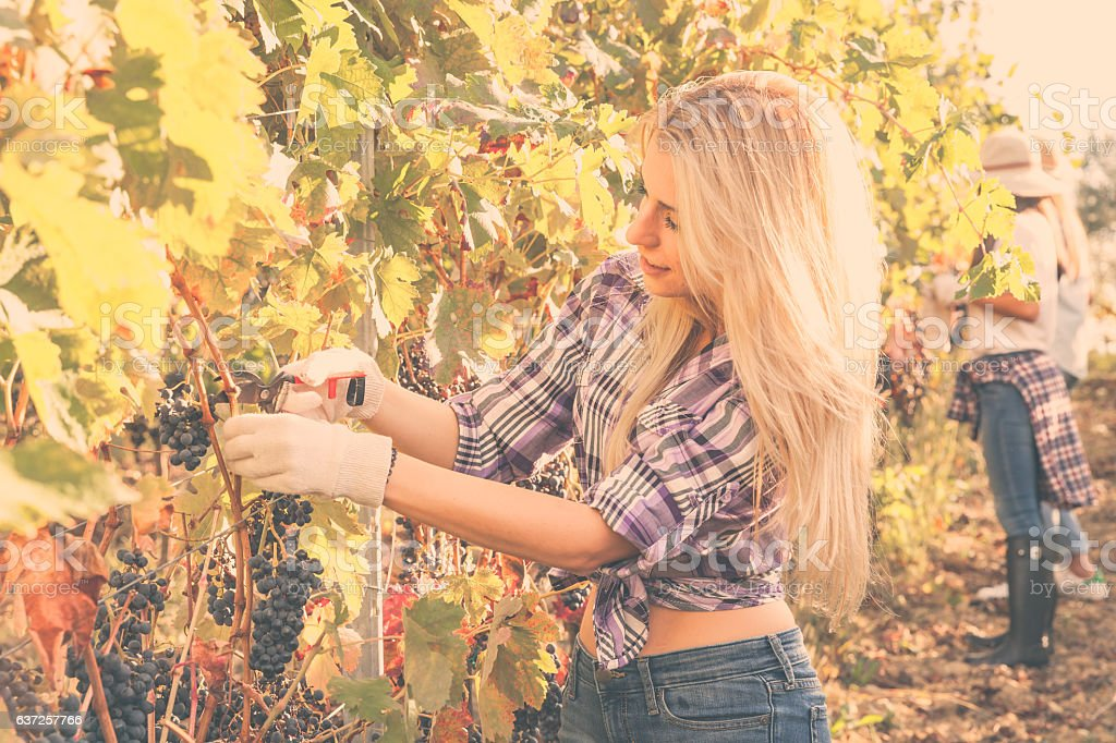 Beautiful girl cutting grapes in a vine stock photo