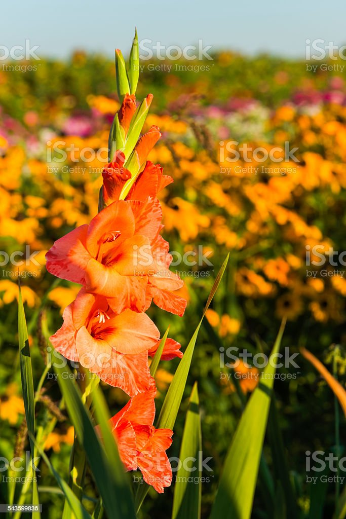 Beautiful Gladiolus Flower Flowerbed Garden Multicolored Close-up stock photo