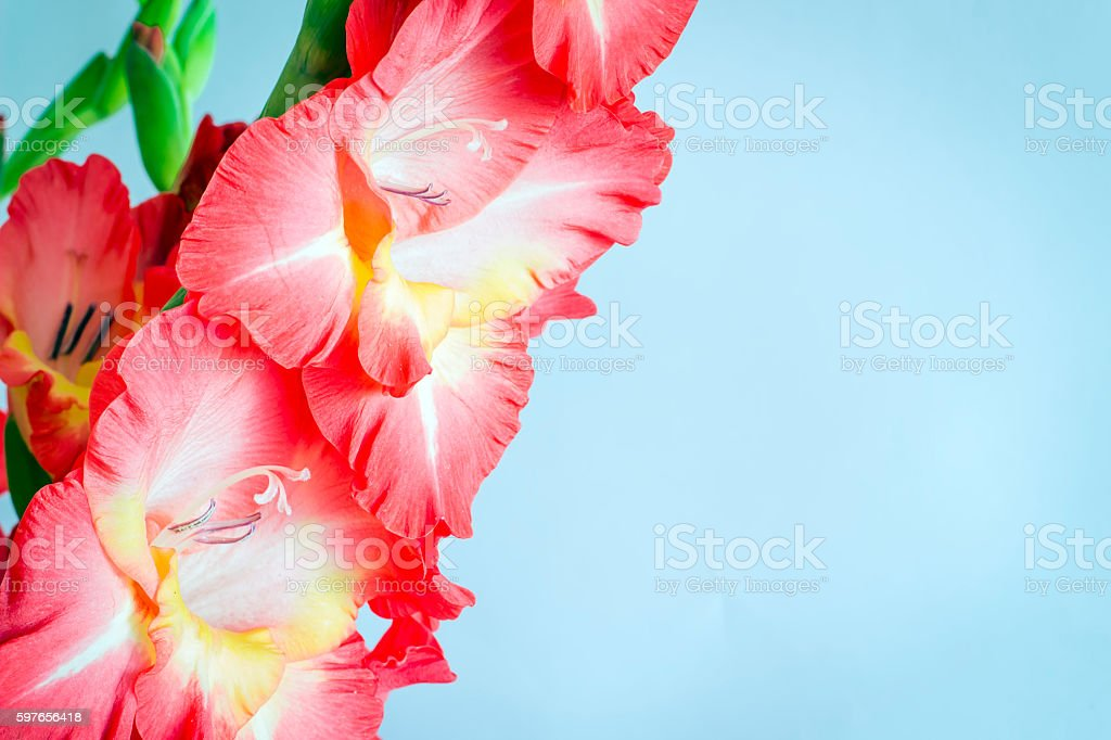 Beautiful gladiolus flowers on a blue background. isolated stock photo