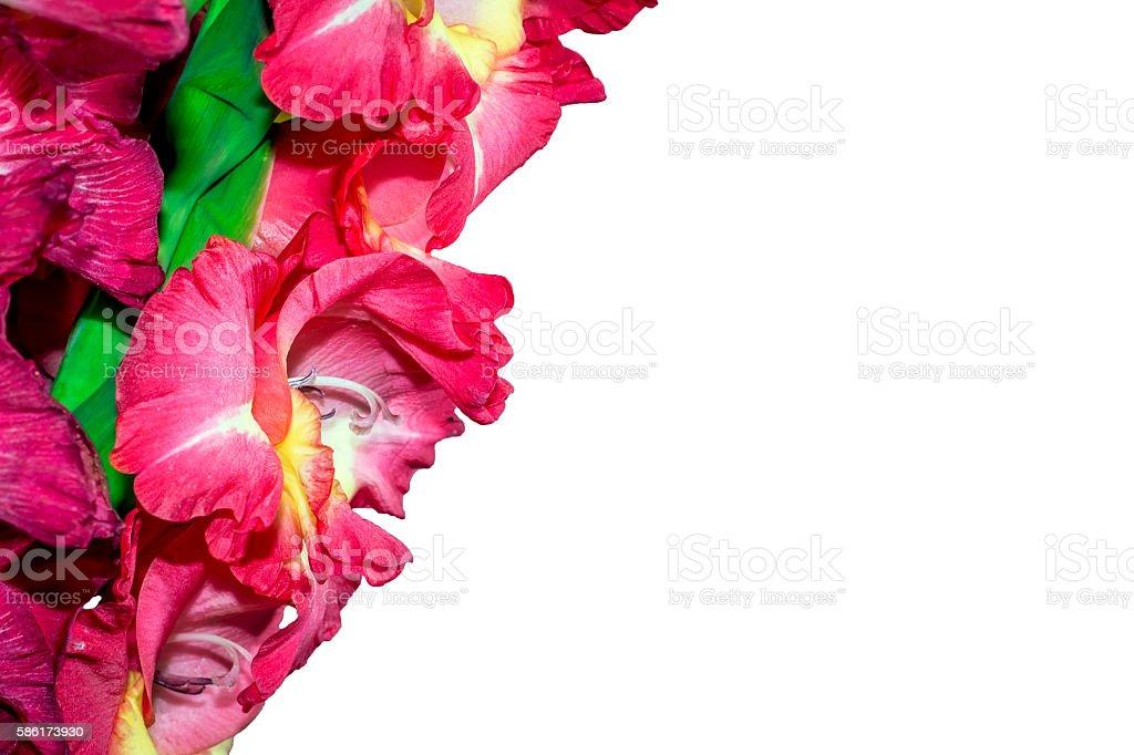 Beautiful gladiolus flowers on a white background. isolated stock photo