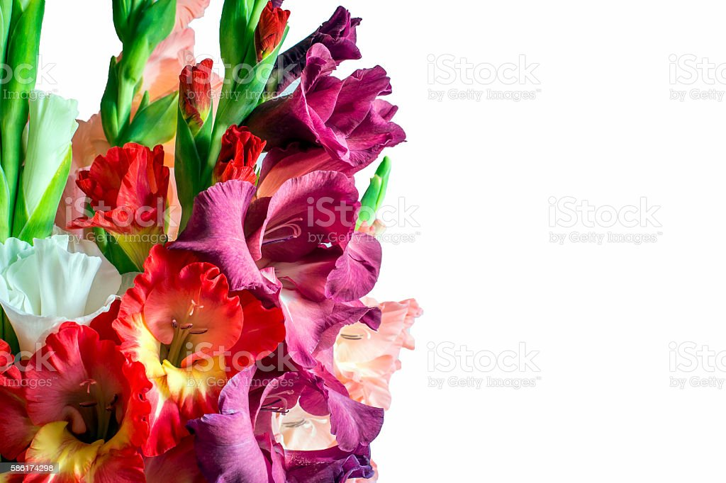 Beautiful gladiolus flowers on a white background. isolated stock photo