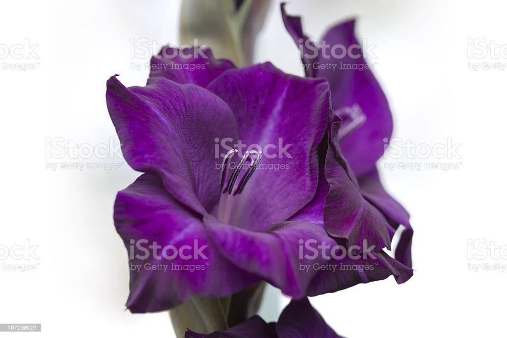 Beautiful Gladiolus royalty-free stock photo