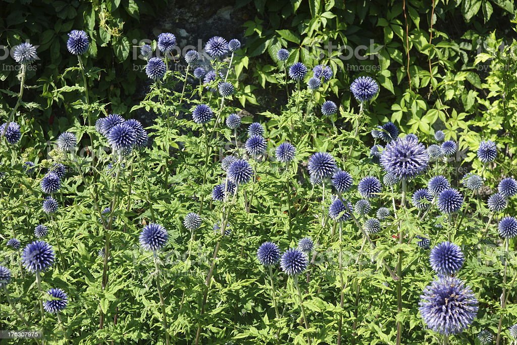 beautiful globe thistles stock photo