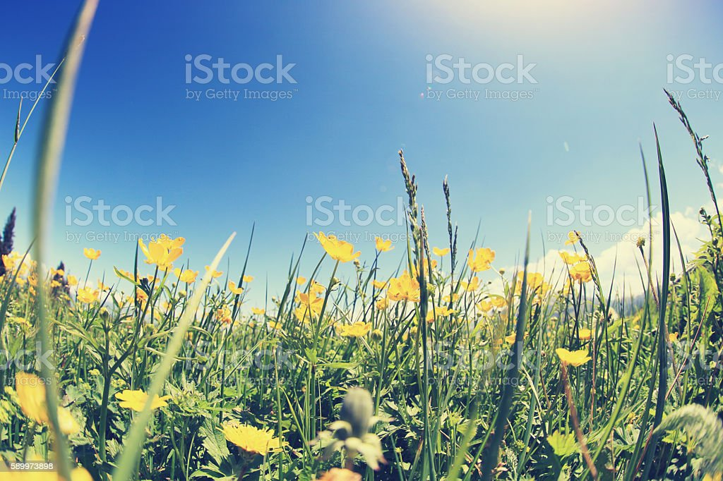 beautiful globeflowers and green grass under blue sky stock photo