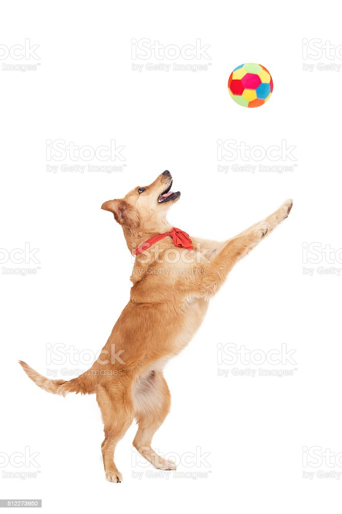 Beautiful golden dog play with ball on white background stock photo