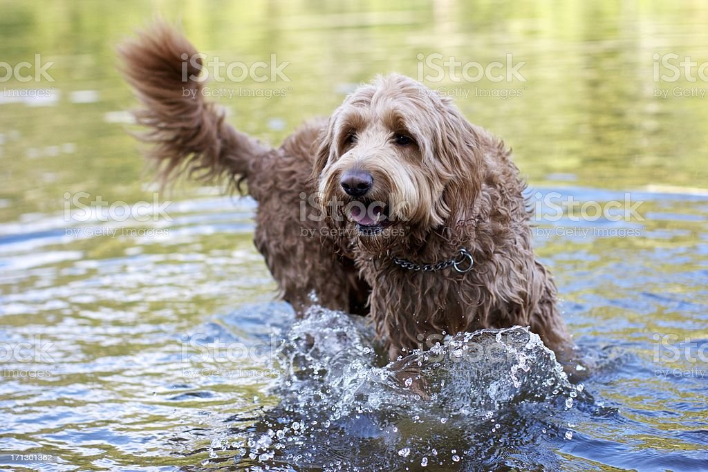 Beautiful golden doodle playing in the river royalty-free stock photo